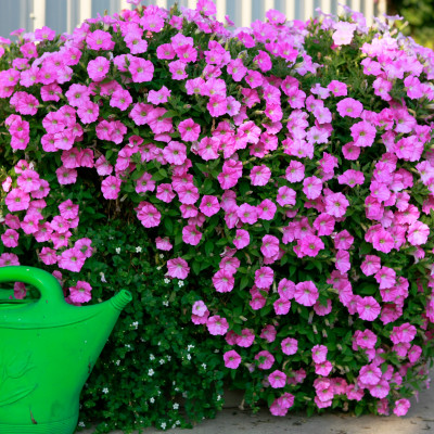 How to Maintain and Water a Big Hanging Basket/Container
